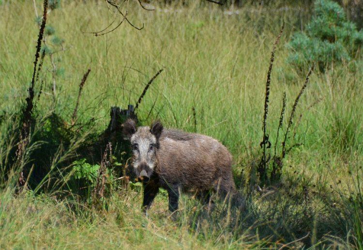 eenzaam zwijn in het Kroondomein Apeldoorn