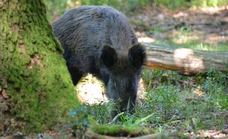 zwijn in bos van Kroondomein op de Veluwe