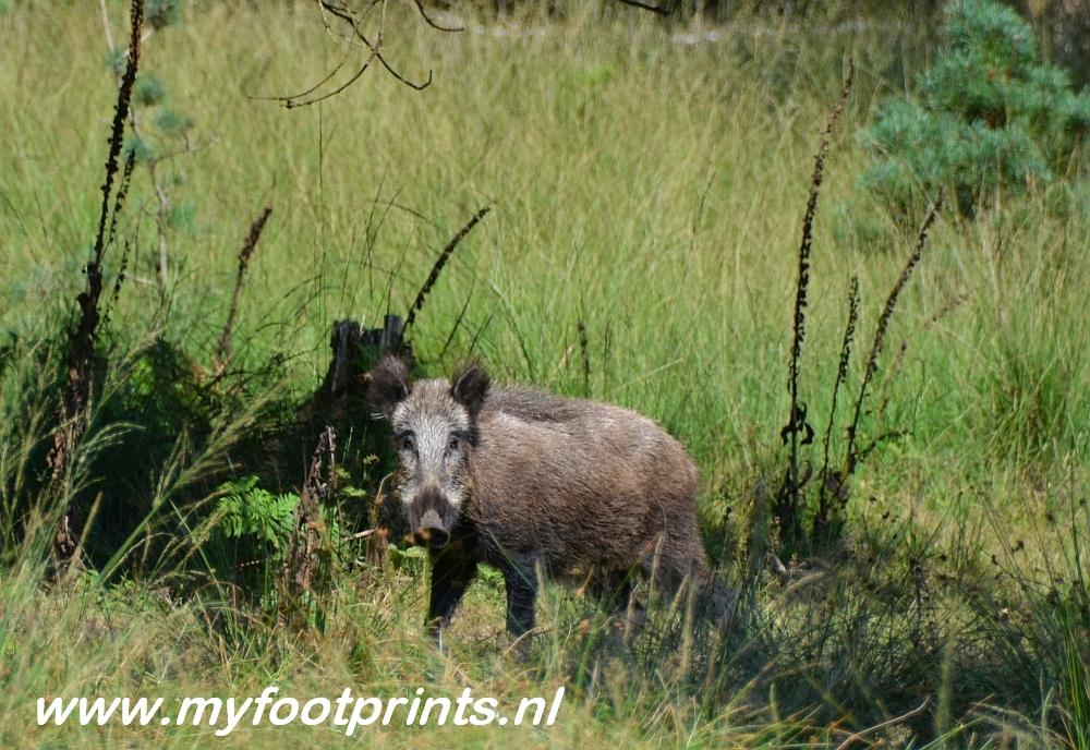 wild zwijn op de Veluwe foto van de maand Myfootprints
