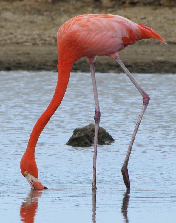 flamingo op Curacao