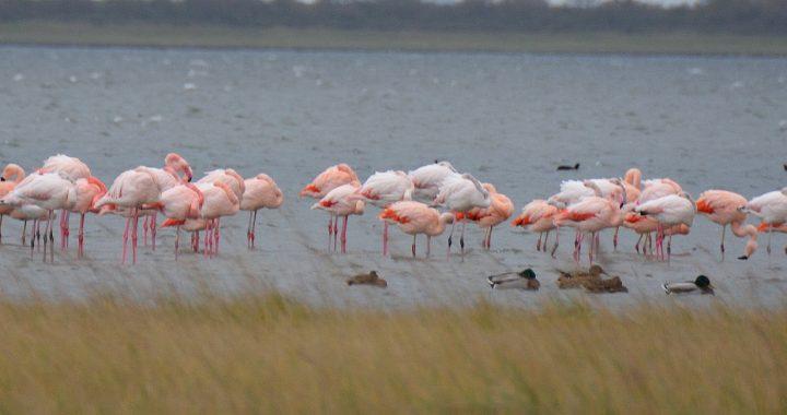 flamingos in Nederland Battenoord Goeree-Overflakkee