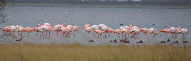 flamingos Battenoord Goeree-Overflakkee