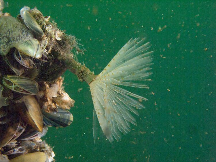 kokerworm tijdens duiken in Zeeland