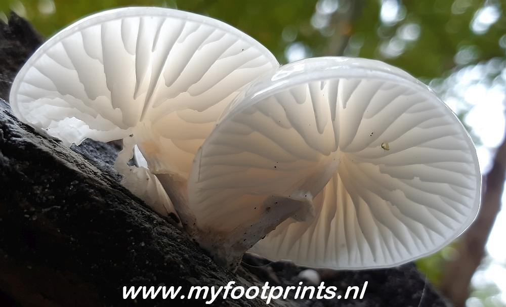 porseleinzwammen foto van de maand Myfootprints