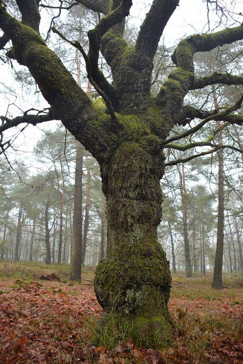 kronkelige boom op de Veluwe