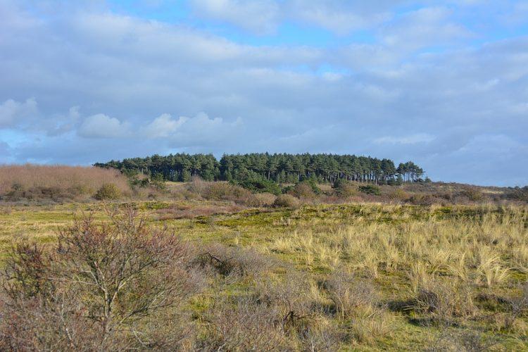 open vlakte met naaldbomen in de Kennemerduinen