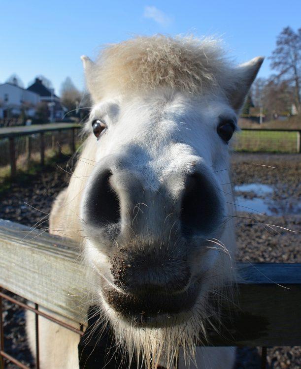 paard Helmond