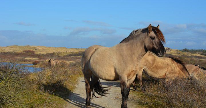 wandelen in de Kennemerduinen konikpaarden in de duinen