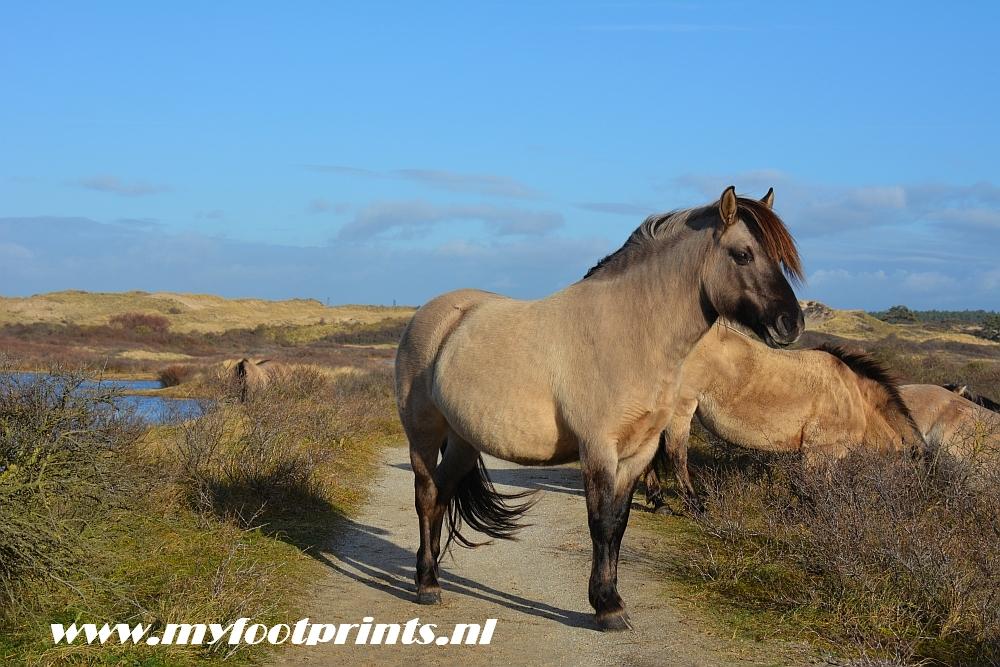 konikpaarden in de duinen van Noord-Holland