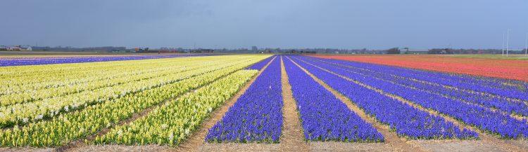 hyacinten bij Julianadorp Aan Zee camperroute noorden van Nederland