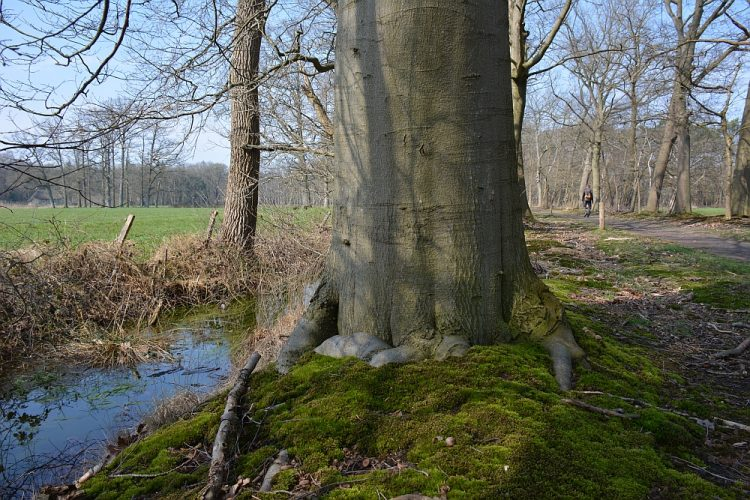 oude beuken landgoed Hondsdonk Brabant