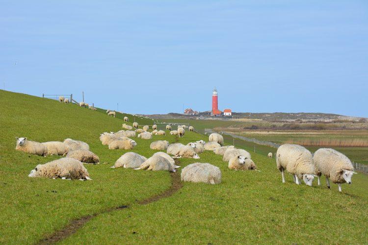 schapen en vuurtoren Texel camperroute noorden van Nederland