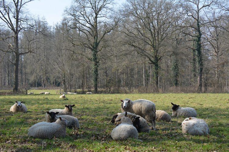 wandelroute Chaam schapen op Landgoed Hondsdonk