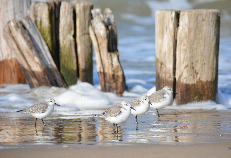 strandplevier Zeeland
