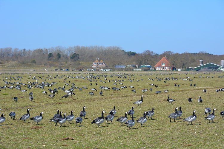 ganzen in de polder van Schiermonnikoog