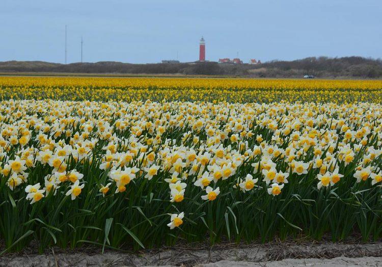 narcissen en de vuurtoren van Texel