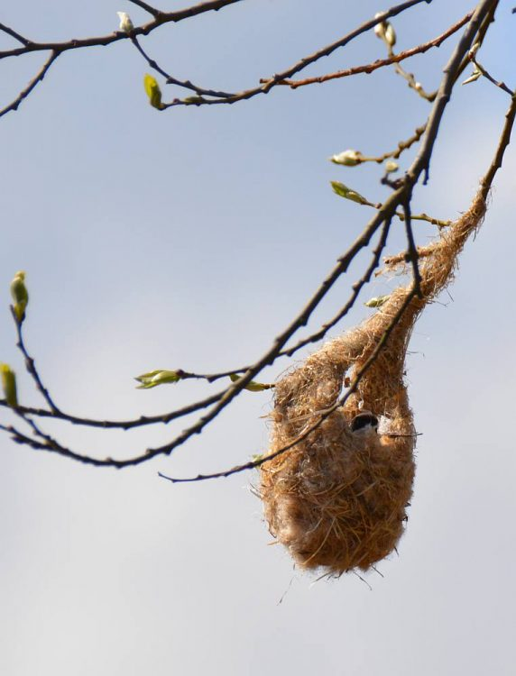 nest buidelmees in Nationaal Park Lauwersmeer