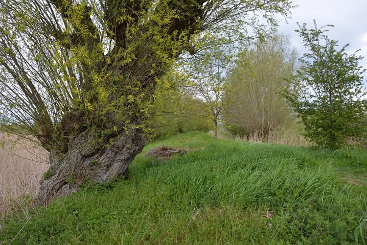 oude knotwilg langs Oude Rijn