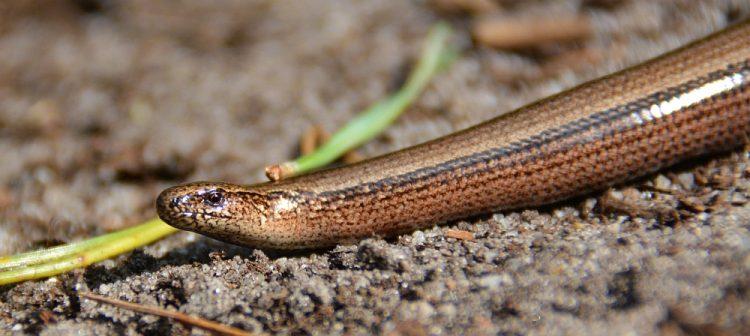 hazelworm op de Veluwe